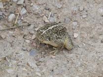 Massive toad